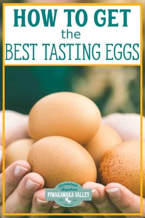 What To Feed Chickens To Get The Best Tasting Eggs - there are some foods that you can feed backyard chickens that change the flavour of the hens eggs. Find out what foods make the best chicken eggs! #piwakawakavalley
