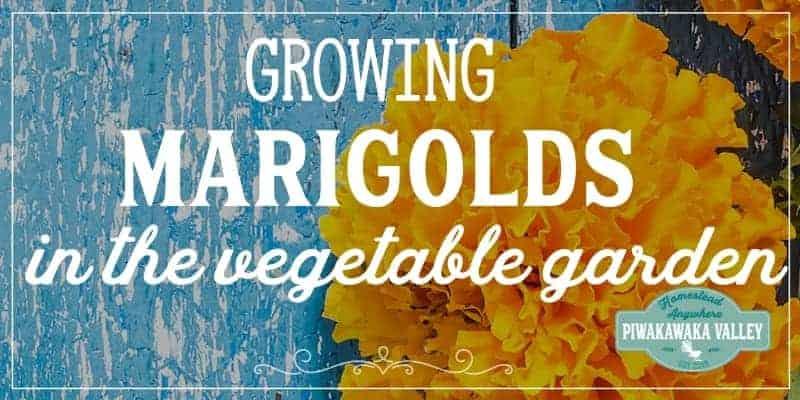 Growing marigolds in the vegetable garden promo image