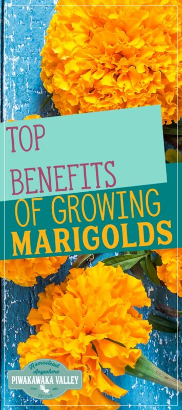 Are you still learning about companion planting and the benefits of planting flowers in your vegetable garden? Here are the reasons that you should be growing marigolds in your backyard vegetable garden, orchard or food forest. #gardening #piwakawakavalley