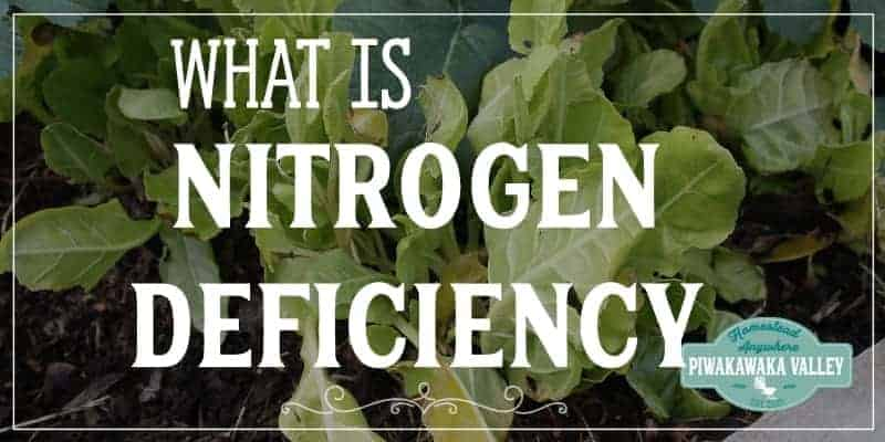 Poor growth in your garden this season? Even in composted raised beds? If your vegetables are stunted and slow growing, or your plants are not growing at all, this could be the remedy that you need. Plants with nitrogen deficiency struggle to grow and here is what you need to do to add nitrogen to your garden soil. #gardening #piwakawakavalley