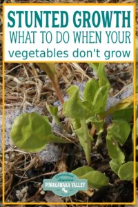 Why aren't my vegetable plants growing? Stunted plants and nitrogen deficiency promo image