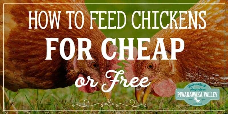 how to feed chickens for less money
