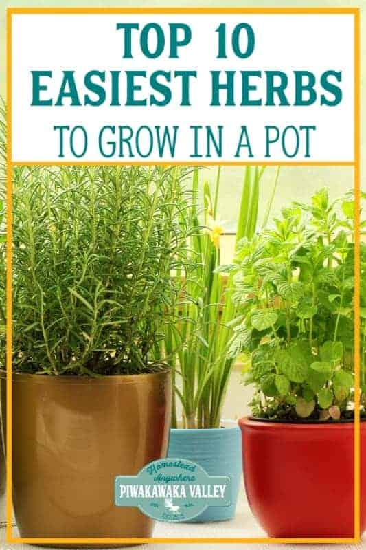growing herbs in a pot