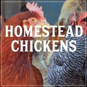 Learn to homestead with chickens. Raising chickens on the homestead clickable image