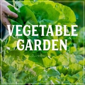 Learn to homestead with gardening. How to grow a vegetable garden image