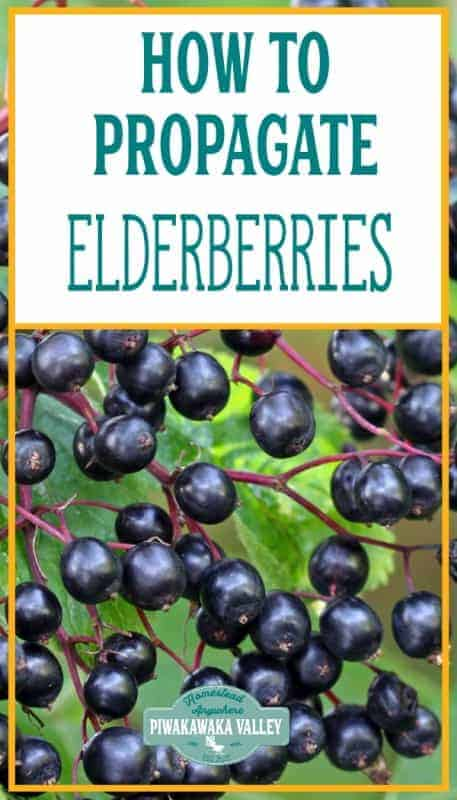 How to easily propagate elderberry bushes (with a video) promo image