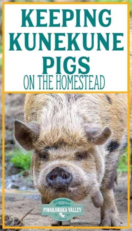Kunekune pigs ont he homestead promo image