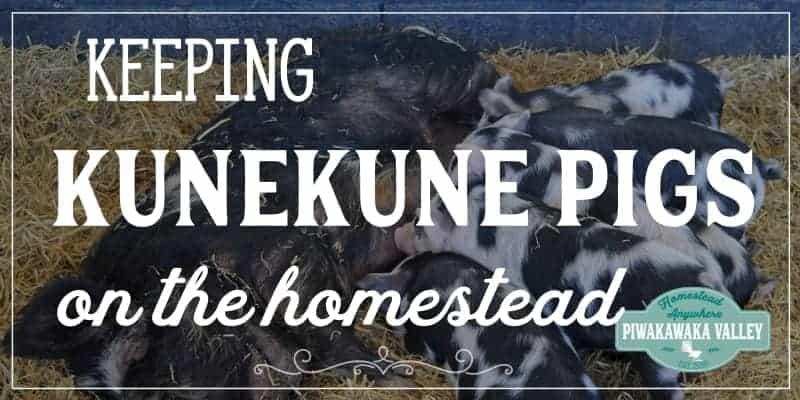 Keeping Kune Kune Pigs on a Homestead promo image