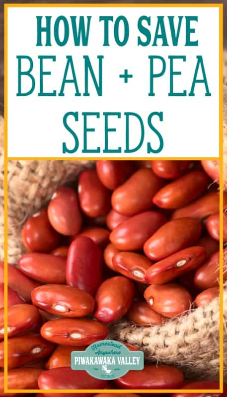 How to save bean and pea seeds for future planting (with video) promo image