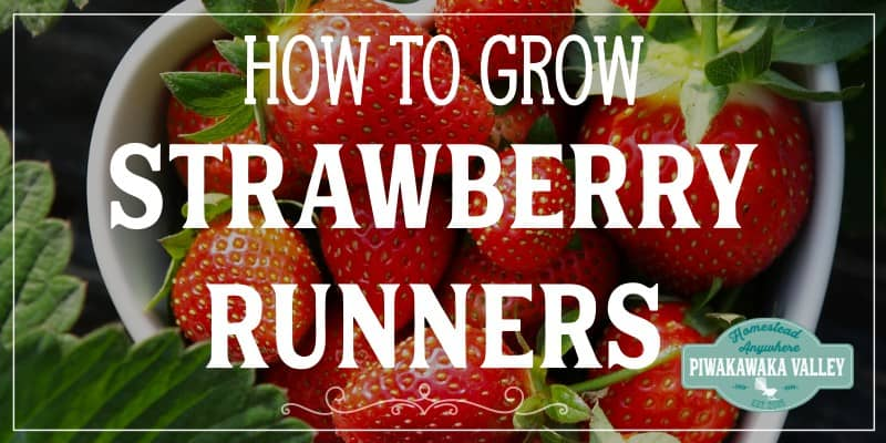 How to get more strawberry plants for free: planting strawberry runners promo image