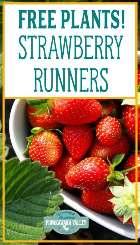 how to get more strawberry plants: planting strawberry runners