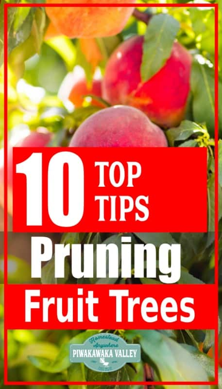 How to prune fruit trees in winter in your backyard orchard - Apple, peach, plum, apricot promo image