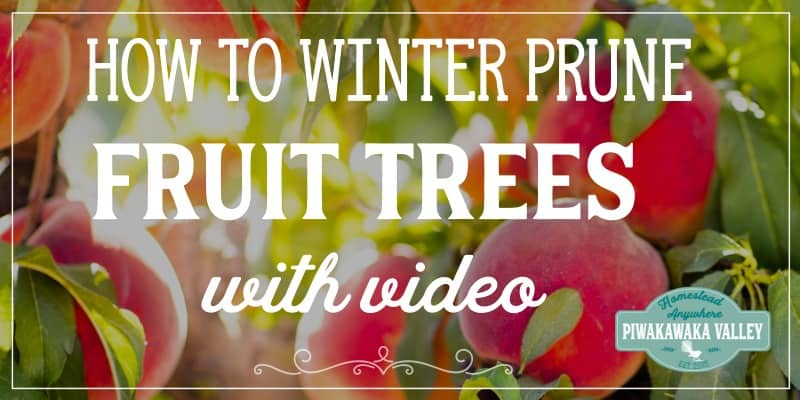 how to prune fruit trees in winter in your backyard orchard. Pruning apple, pear, apricot, peach, plum and nectarine trees in to a vase or goblet shape is easy with these pruning tips and guides, video included.
