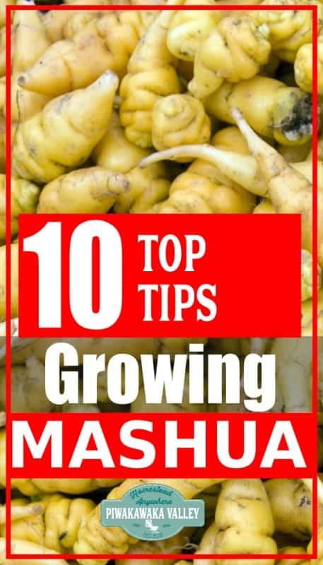 how to grow mashua