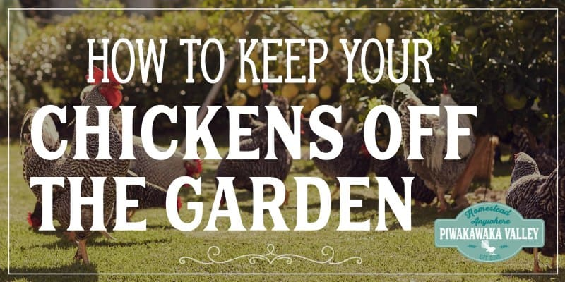 Growing your own food is brilliant, and adding chickens to your backyard improves your self sufficiency and resilience. But how do you protect your garden from the chickens? Protecting the garden from free range hens is a really common problem for most backyard chicken owners! Chickens love to look for their own food, to dig and scratch and dust bathe in bare soil. Not to mention snack on fresh young green plants.