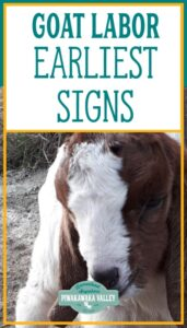 Pregnant goat labor signs: How do you know when a goat is ready to give birth promo image