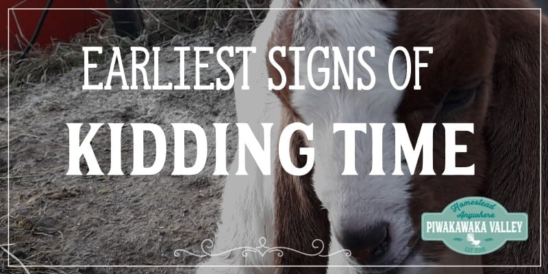 If you keep goats on your homestead, you will probably want them to have babies as some stage! Goats due dates can be hard to guess, so how do you know when a goat is ready to give birth? There are some common pregnant goat labor signs that you can keep an eye out for.