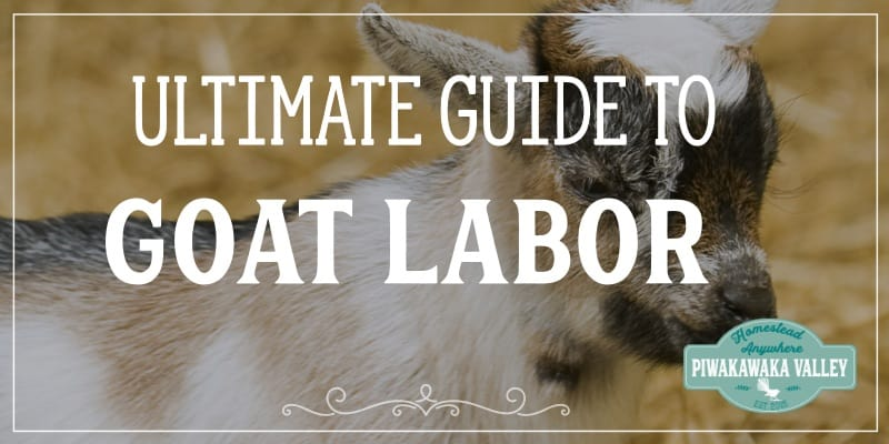 If you have noticed that your doe is in early labour, or due to give birth at any moment, here is everything you need to know about got labour and delivery.