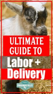 Everything you need to know about goat labour and delivery promo image