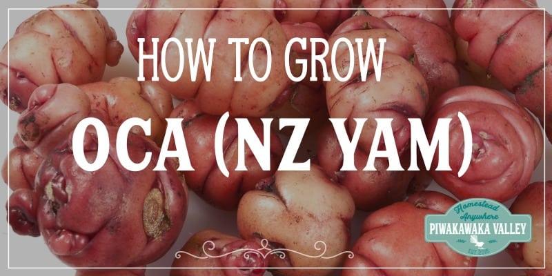growing oca