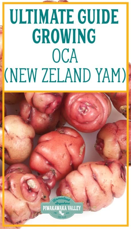 How to grow Oca