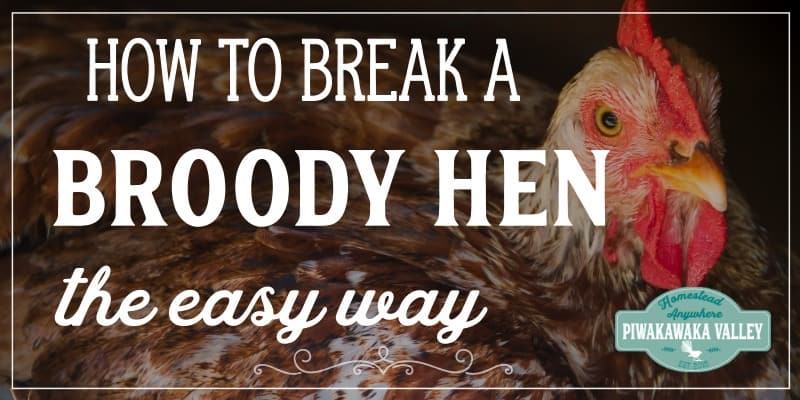 how to break a broody hen promo image