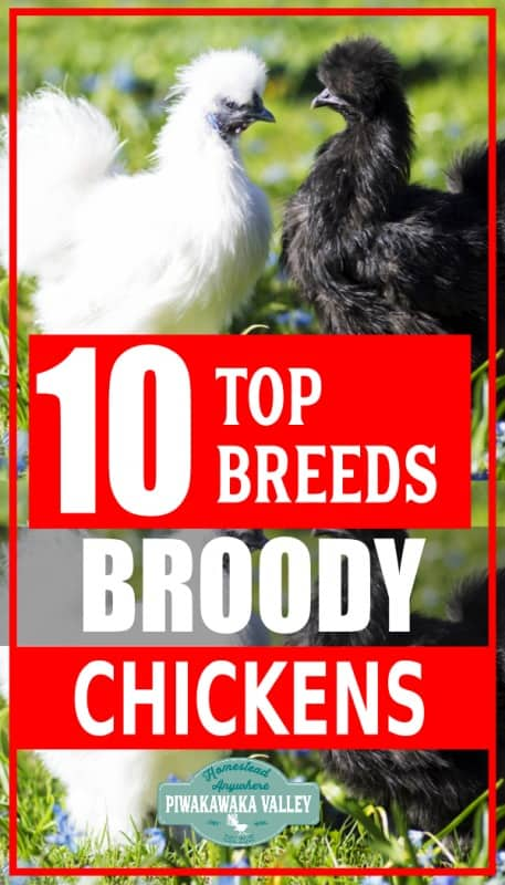 If you are wanting to maintain a self sustainable chicken flock, you will probably be looking for the best broody chicken breeds. Broodiness varies in both breeds and individual birds and will fluctuate over the seasons.