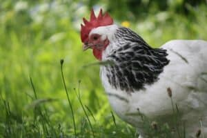 10 Best broody chicken breeds promo image