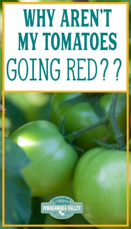Why aren't my tomatoes goin red? If you are struggling with tomatoes not ripening on the vine, here are some reasons they aren't and how you can make your tomatoes ripen faster.