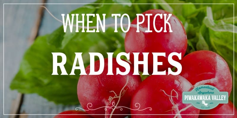 when to pick radishes promo image