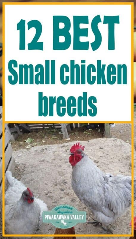 Best Small Chicken Breeds For Your Backyard promo image