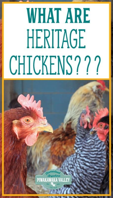 If you are new to keeping chickens, chances are you will be wondering what breed or breeds of chickens that you should keep in your backyard. Heritage chicken breeds are popular with backyard chicken owners for many reasons, read on to find out more. What is a heritage breed chicken?