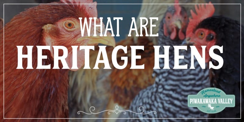 Heritage chicken breeds and why they are better promo image