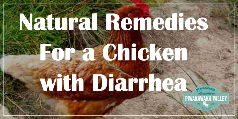 Chicken Diarrhea - A home remedy that works promo image