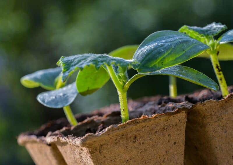 seedling vs transplants for growing a vegetable garden image of peat pots