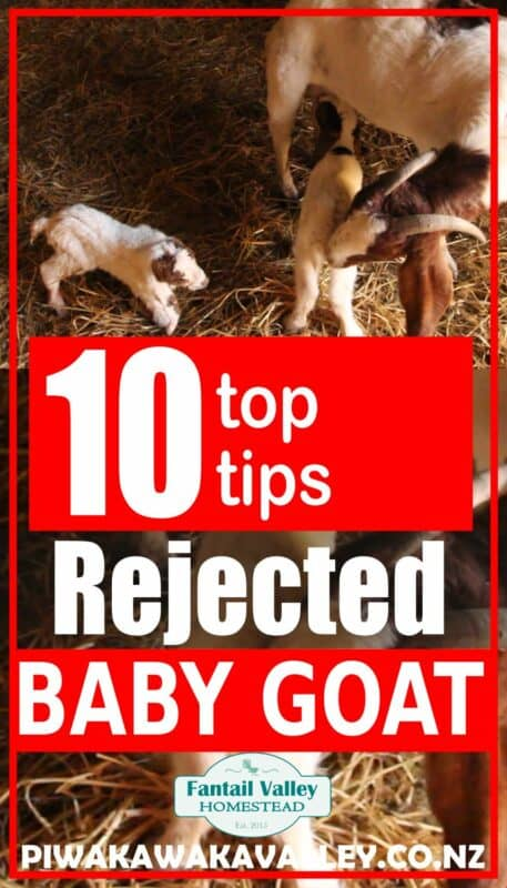 rejected baby goat image